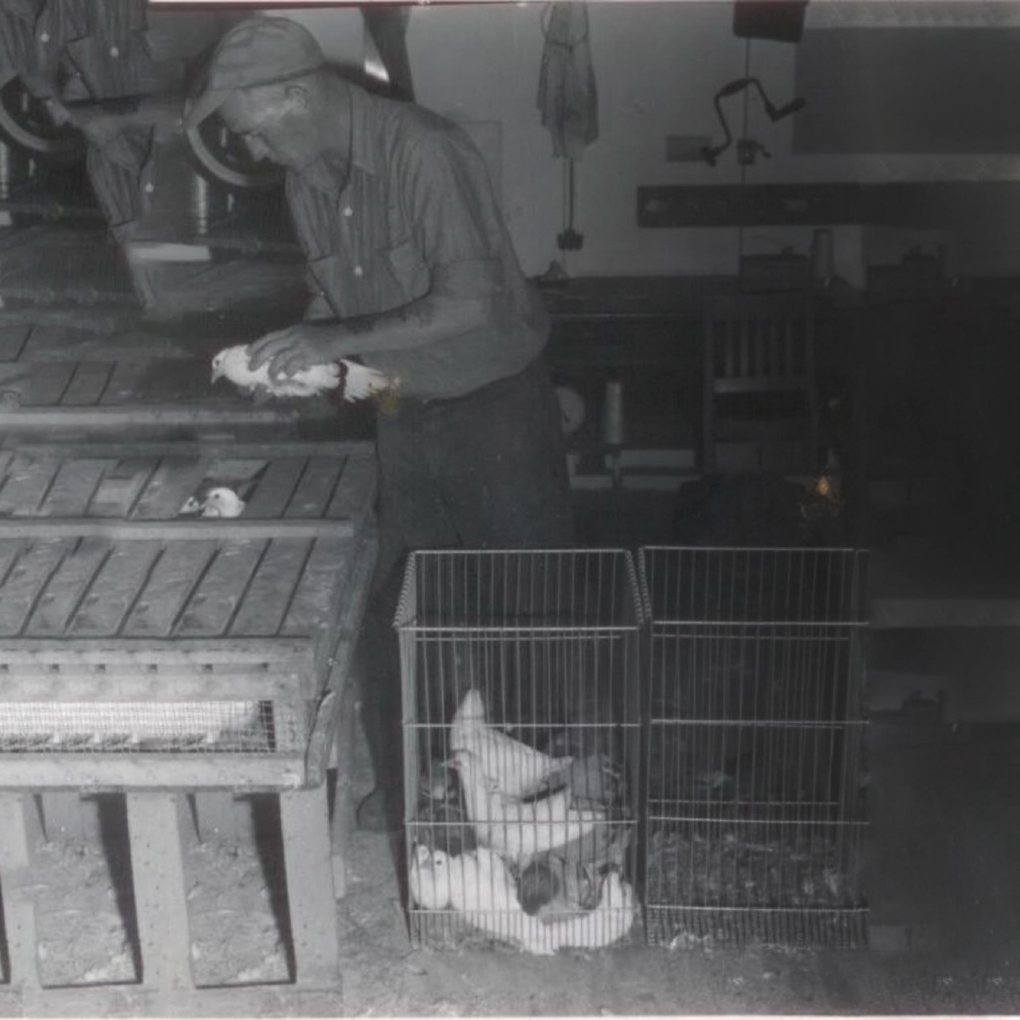 1960. Bird receiving at SPOC's processing plant.
